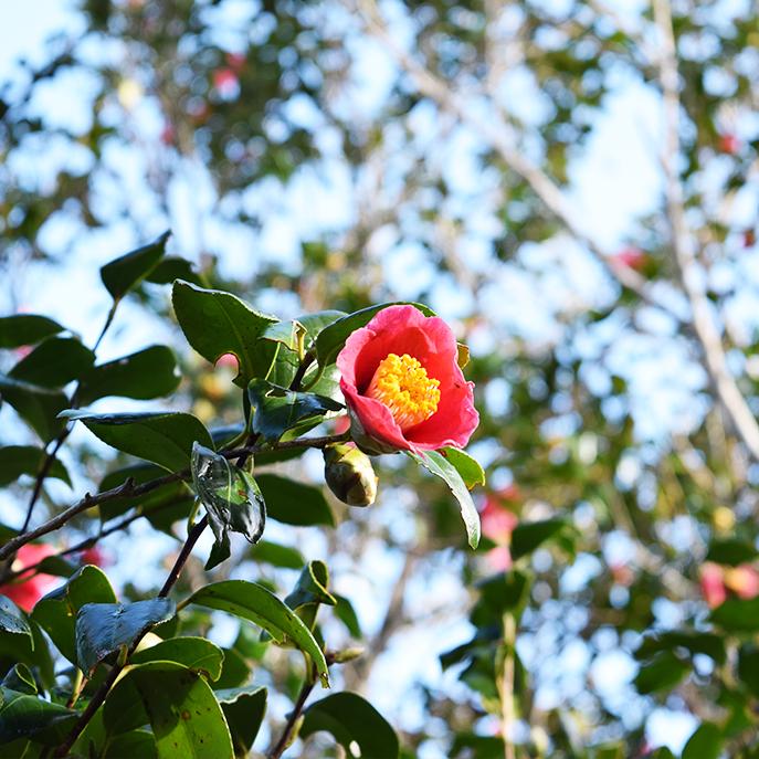 「利島の椿油」
